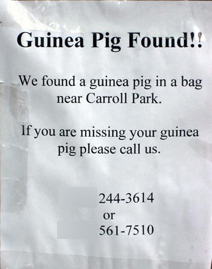 Guinea Pig Found