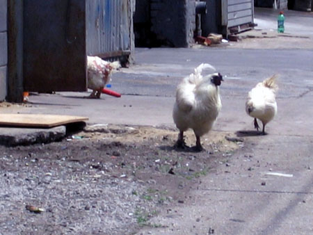 Noble Street Chickens